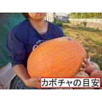ハロウィン用巨大種かぼちゃ XLサイズ 横向き楕円型