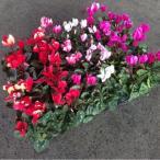 ガーデンシクラメン(3.0寸)1ポット:ハーフセット(1箱12入)