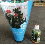ミニ薔薇(3.5寸)1鉢:(最低発注単位15鉢)7月中旬までの販売です。