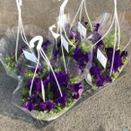 サフィニア(紫)1鉢:(1箱5鉢入)