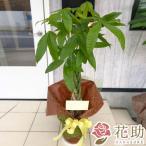 【観葉植物:パキラ】フラワーコンシェルジュが厳選した花屋の観葉植物 10000円