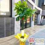 【観葉植物:パキラ】フラワーコンシェルジュが厳選した花屋の観葉植物 15000円