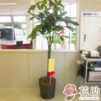 【おしゃれな鉢カバー付き観葉植物:パキラ】フラワーコンシェルジュが厳選した花屋の観葉植物 18000円