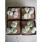 多肉植物 リトープス 品種不明/タイプA(メセン)(3号角鉢)