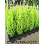 Yahoo!緑の風yamashoku ヤフー店ガーデン苗セット販売 コニファー ゴールドクレスト ウィルマ 12ポットセット(2.5〜3号)【お得なまとめ買い】