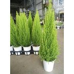 Yahoo!緑の風yamashoku ヤフー店ガーデン苗セット販売 コニファー ゴールドクレスト ウィルマ 11鉢セット(4号)【お得なまとめ買い】