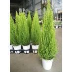 Yahoo!緑の風yamashoku ヤフー店ガーデン苗セット販売 コニファー ゴールドクレスト ウィルマ 5鉢セット(4号)【お得なまとめ買い】