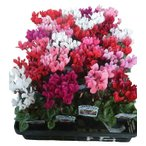 特選花苗セット販売 お得なまとめ買い ガーデンシクラメン ミックス 24ポットセット(3号)