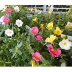 真夏の直射日光が大好きな暑さに強い植物♪