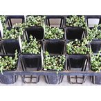 多肉苗セット販売 グリーンネックレス斑入り 10ポットセット(3号)【お得なまとめ買い】