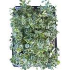 Yahoo!緑の風yamashoku ヤフー店ガーデン苗セット販売 ツルニチニチソウ 斑入り 12ポットセット(3〜3.5号)【お得なまとめ買い】
