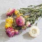 【ドライフラワー】ヘリクリサム アソート ステム付き  ハーバリウム レジン 髪飾り 花材 アレンジ ムギワラギク 貝細工