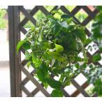 送料無料 在庫限定 店長アレンジ・観葉植物のハンギングバスケット 寄せ植え「*Foliage plants*」