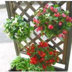 3個セット 送料無料 ベゴニアのハンギング寄せ植え [3色セット福袋] 開花期間:春から晩秋まで(寄せ植え/セット/ギフト/花/寄植え/鉢植え/壁掛け/春/夏/通販