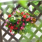 ベゴニアのハンギングバスケット寄せ植え [カラフルMIX(シンプル)]  開花:春から晩秋まで(玄関 寄せ植え /セット/ギフト/花/寄植え/鉢植え/壁掛け/春/夏/通販