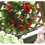 Lサイズ ベゴニアのハンギング寄せ植え [Lサイズ MIX] 開花期間:春から晩秋まで(玄関 寄せ植え /セット/ギフト/花/玄関/鉢植え/壁掛け/ハンギング/春/夏/通販