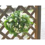 ベゴニアのハンギング寄せ植え [ホワイト(シンプル)] 開花期間:春から晩秋まで(玄関 寄せ植え /セット/ギフト/花/寄せ植え/鉢植え/壁掛け/ハンギング/春/夏/通販