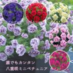 手間要らずで「ギュギュ」っと花が密に咲く!タキイ育成・多花性小輪八重咲きペチュニア「ギュギュ ダブル(4色バラ売り」 苗 八重咲き