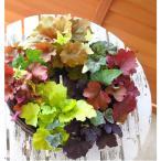 リースの寄せ植え 大人気カラーリーフ「ヒューケラ」のリース型寄せ植え