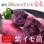 サツマイモ 苗 販売「紫イモ 苗(イモヅル)10本 (※メール便不可※)」(さつまいも・苗・イモヅル・苗 家庭菜園