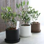 ミニオリーブ 「 オリーブの木 (高さ40〜45cm前後) 選べる鉢 2色 」 オリーブの木 販売 苗木 観葉植物 オリーブの木 鉢植え ガーデニング 農業