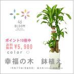 ポイント10倍&送料無料 観葉植物 *ドラセナ・マッサンゲアナ(幸福の木・7号角プラ鉢・約100cm)*