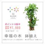 ポイント10倍&送料無料 観葉植物 *ドラセナ・マッサンゲアナ(幸福の木・8号角鉢・約120cm)*