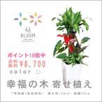 ポイント10倍&送料無料 観葉植物寄せ植え *ドラセナ・マッサンゲアナ(幸福の木)寄せ植え(7号角鉢・約100cm)*