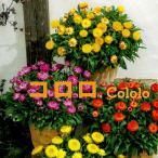 サントリーのブランド花苗「ココロ (全4色)10,5cmポット苗」10〜5月に咲いてドライフラワーに人気のムギワラギク。(ガーデニング 鉢植え 花苗 秋 冬)