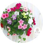 ニチニチソウのハンギング寄せ植え「カラフルMIX」秋まで開花 初心者でも簡単。屋外で次々咲く(寄せ植え 敬老の日 ギフト フラワー 玄関 ガーデニング セット 苗