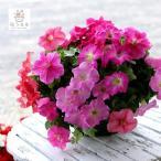 ペチュニアのハンギング寄せ植え スイート ピンク[(シンプル)] (寄せ植え/セット/ギフト/花/寄植え/鉢植え/壁掛け/ハンギング/春/夏/通販