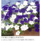 1鉢に2色がミックス タキイブランドの這性ペチュニアサルサ ミックス バイオレット ピュアホワイト 10 5cmポット苗 苗