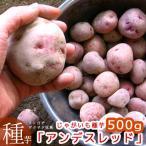 じゃがいも 種芋 種イモ 黄色い身は濃厚ホックホク!「アンデスレッド500g」種 ばれいしょ ジャガイモ 家庭菜園 苗 アンデス 赤 レッドアンデス
