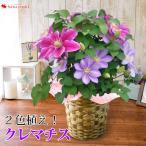 母の日 花 ギフト 2021 送料無料 母の日限定 選べる人気の豪華な鉢植え「2色植えクレマチス」母の日プレゼント