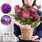 早割 母の日 ギフト 花 プレゼント 2021 人気の豪華な鉢植え 八重咲きクレマチス 5/4〜5/9の間にお届け フラワーギフト クレマチス 花鉢 鉢花 母 義理 義母