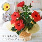 プレミアムポインセチア 鉢植え プレミアム鉢花 選べる3色 鉢植え 冬 花鉢 お歳暮 ギフト 花 クリスマス 誕生日 プレゼント 女性 母