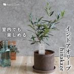 インドアオリーブHINAKAZE ひなかぜ 鉢植え オリーブの木 観葉植物 送料無料