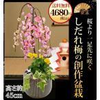 迎春 盆栽 産地直送 迎春 しだれ梅の和モダン創作盆栽  梅 プレゼント 花 誕生日