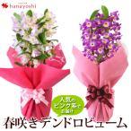 阿波の洋蘭 花色が選べるデンドロビュームをラッピングしてお届け 1/17〜4月15日までのお届け