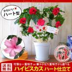 母の日 ギフト 花 早割 母の日限定 ハイビスカスのハート仕立て  選べる2カラー 5/10〜5/14の間にお届け 母の日プレゼント 花鉢 ハイビ 鉢花 鉢植え