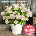 母の日 プレゼント 早割 母の日限定 サフィニアアート ももいろハート サントリーフラワーズ 5/10〜5/14の間にお届け 花鉢 鉢花 鉢植え サフィニア 母の日ギフト