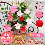 母の日 2021 送料無料 母の日限定ギフト マンデビラ混色プランター植え トレリス仕立て 花 鉢 花鉢 鉢花 プレゼント ギフト