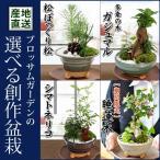 産地直送 ブロッサムガーデンの選べる創作盆栽〜苔あそび〜松ぼっくり松かガジュマルかシマトネリコか睡蓮木から選べる♪