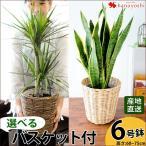 産地直送 観葉植物 インテリア ギフト  選べる4種類 観葉植物6号 鉢観葉植物 鉢 引越し祝い 昇進祝い