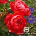バラ苗/David Austin / デビッド・オースチン/ベンジャミン・ブリテン(Benjamin Britten)鉢苗輸入苗 二年生