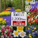 原種 チューリップ 花苗セット 1鉢増量 おまかせ 植えっぱなし芽出し球根苗 合計5鉢セット 1ポット2〜5球植え 約20芽前後 植え ムスカリ