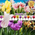 お得な チューリップ セット 球根 50球入り  バラエティに富んだ8種 中球根 うれしい種類別小分けで お届け 即納 珍しい枝咲き 八重咲き ユリ咲き フリン