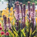 ユーコミス スパークリング バーガンディー 3号ロング〜4号Eucomis Sparkling Burgundys 苗 パイナップルリリー 花の苗物 苗物 多年草 花壇 鉢植え