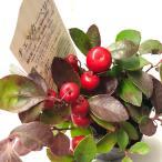 チェッカーベリー1鉢3.5号Gaultheria procumbens chechkerberry