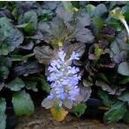 アジュガ レプタンス 1鉢 3号 Ajuga reptans グランドカバー 耐寒性 多年草 カラーリーフ 苗 シェイドガーデン 青花 花壇